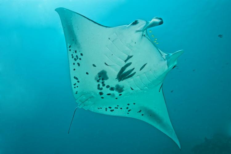 Manta Mantra Photo Image Gallery - Dampier Strait in Raja Ampat_2