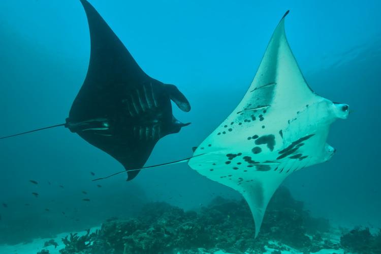 Manta Mantra Photo Image Gallery - Dampier Strait in Raja Ampat_6