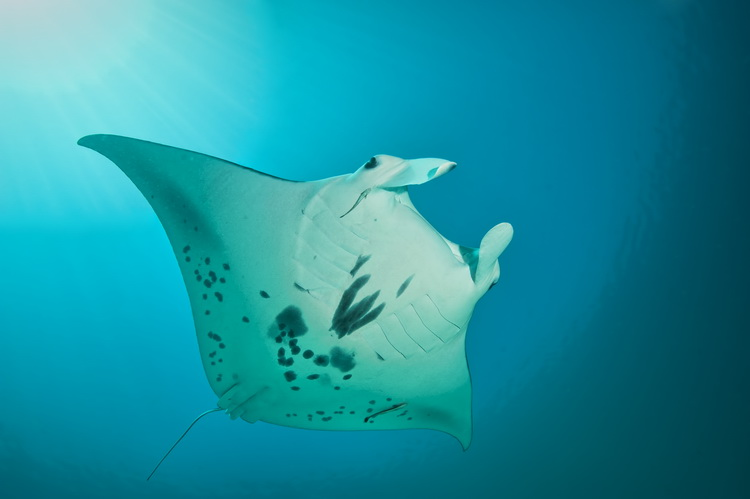 Manta Mantra Photo Image Gallery - Dampier Strait in Raja Ampat_7
