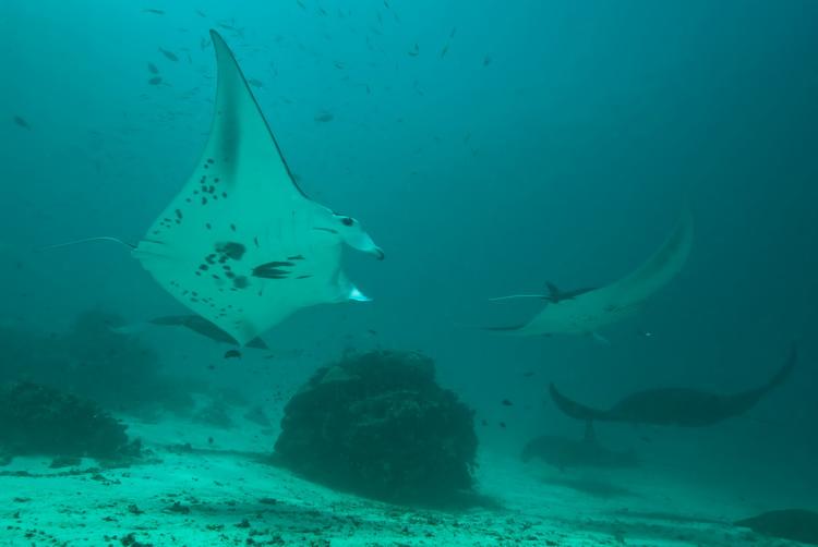 Manta Mantra Photo Image Gallery - Dampier Strait in Raja Ampat_8