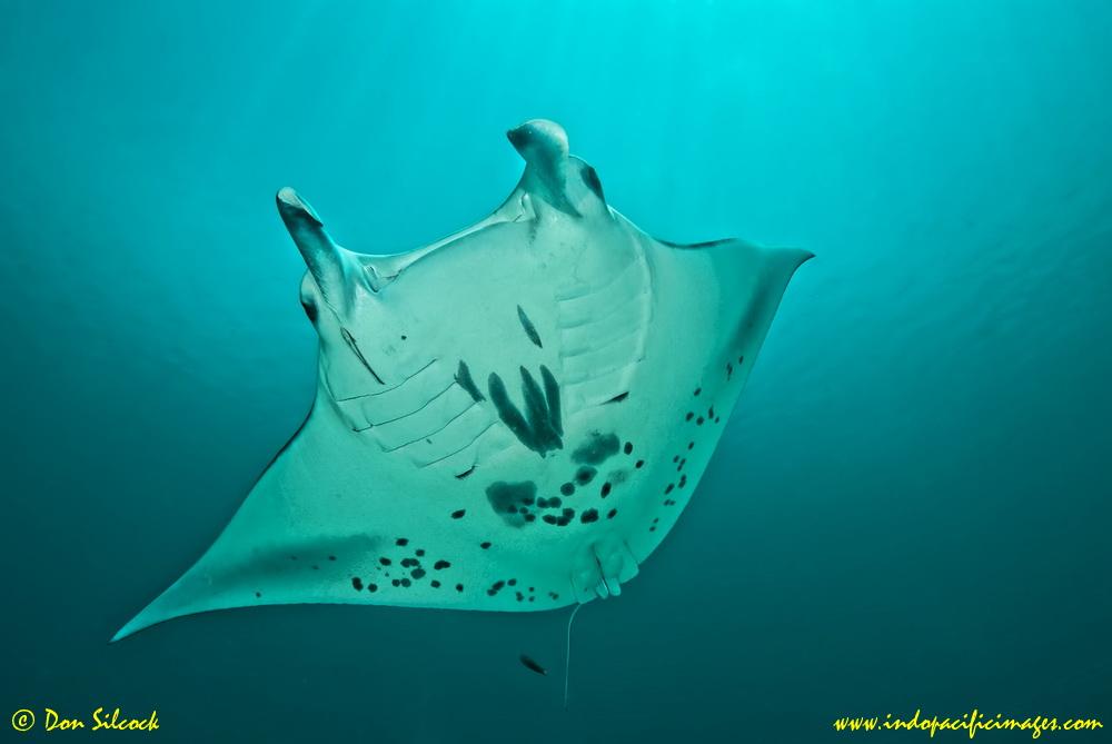Manta Mantra Photo Image Gallery - Dampier Strait in Raja Ampat_10