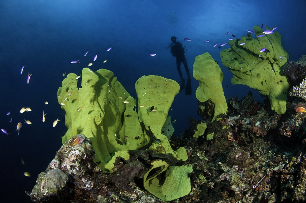 Milne Bay north coast dive sites - An array of incredible elephant ear sponges at Wahoo Point