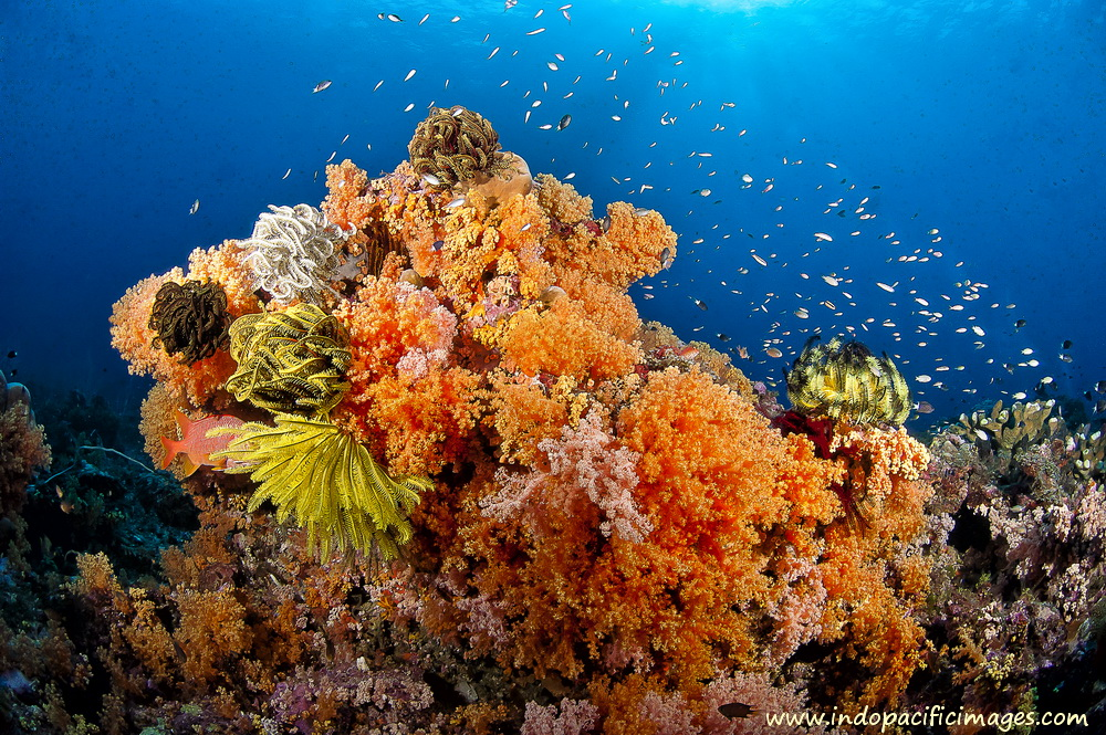 Papua New Guinea Scuba Diving - Superb Bommie on the South Coast of New Britain
