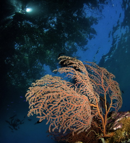 Deacon's Reef - Gorgonian sea fan at Deacon's Reef