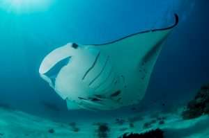 Diving Milne Bay - Milne Bay Mantas