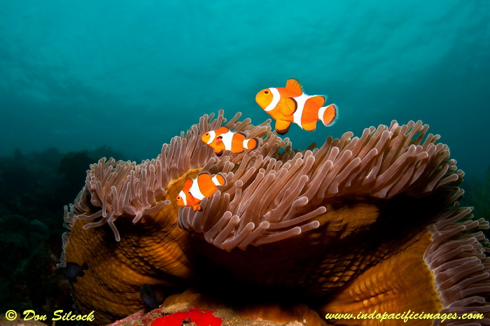 Dive Sites East of Dili - The resident Nemo family at Bob's Rock