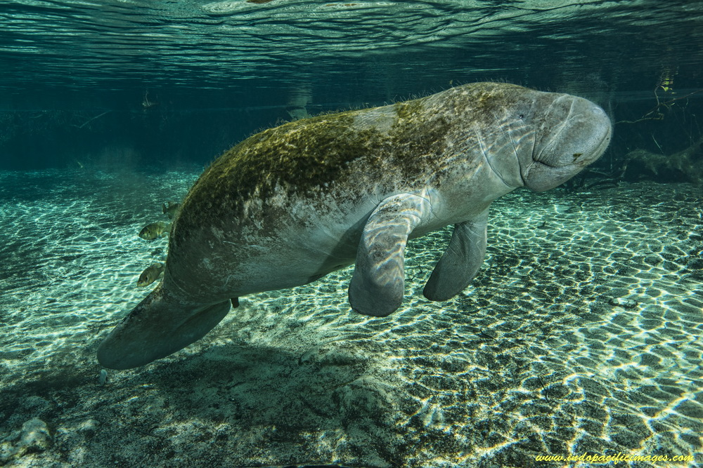 Florida Manatee in the Three Sisters Spring
