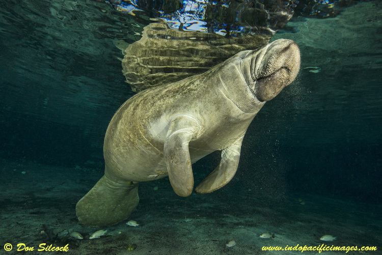 A Florida Manatee at the Three Sisters Springs in Crystal River
