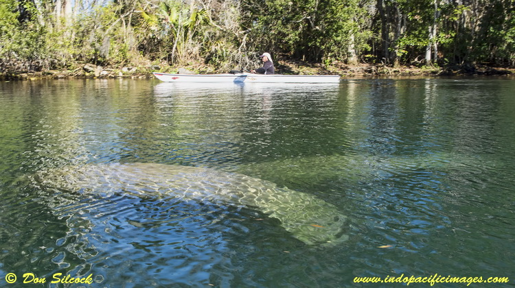 Manatees in Kings Bay