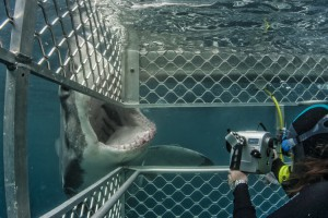 The Complete Guide to the Australian Great White Shark - In the Great White Shark cage