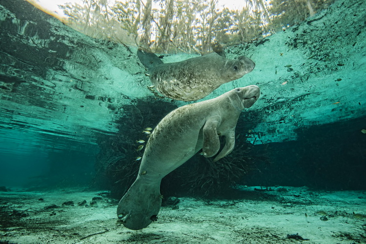 Complete Guide to the Crystal River Manatees - Manatee in the Three Sisters Spring in Crystal River