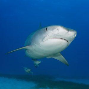 Tiger Sharks of the Bahamas
