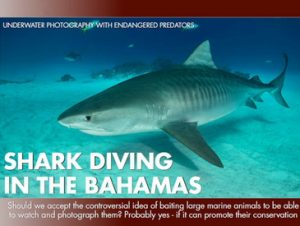 The Tiger Sharks of the Bahamas