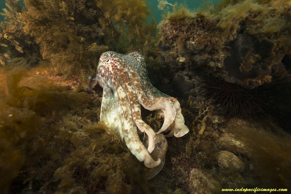Whyalla Giant Cuttlefish aggregation - A Bull Male Cuttlefish hides his captive female from sight...