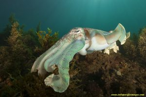 Australian Giant Cuttlefish - Quite Unique