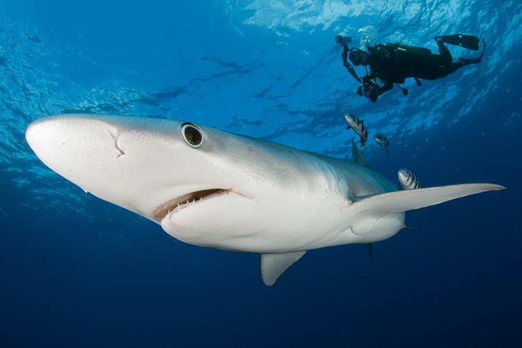 Nikon D500 Underwater - Inquisitive Blue Shark