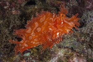 Guide to Diving Port Moresby - Port Morseby Rhinopias