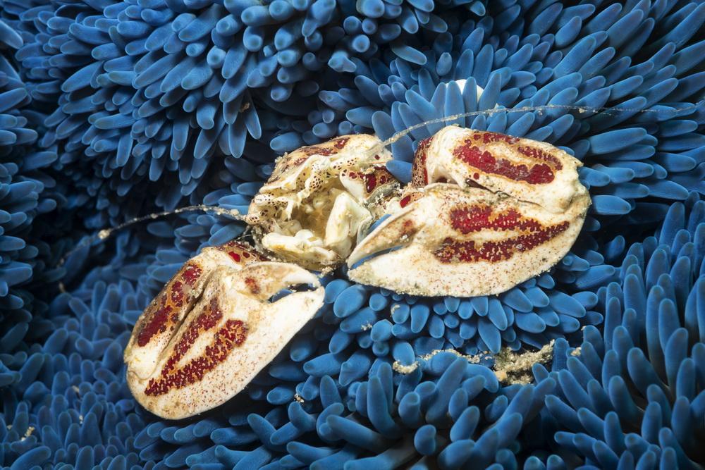 Samarai Island Jetty - stunning Porcelain Crab