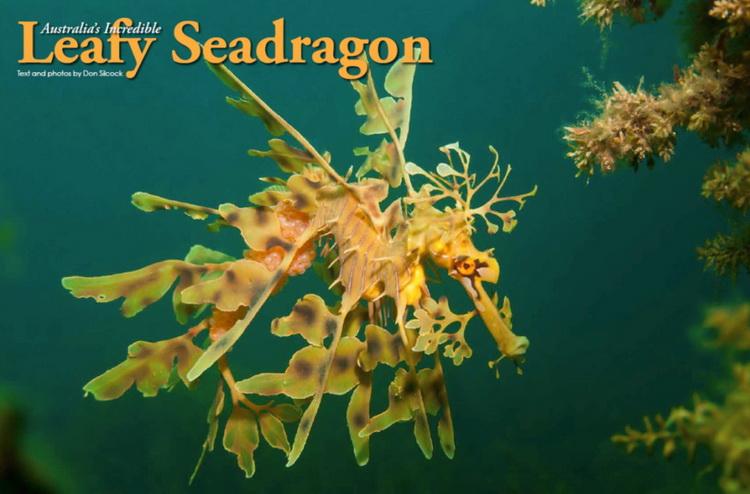 Australian Leafy Seadragon