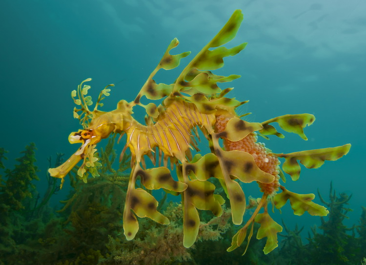Image result for seadragon