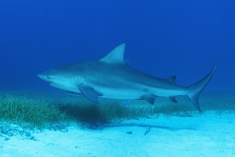 Great Hammerhead Sharks of Bimini