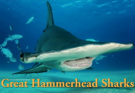 Great Hammerheads of Bimini