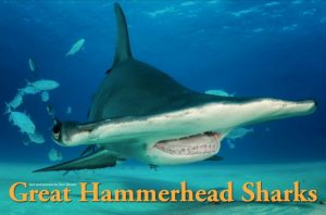 The Great Hammerhead sharks of Bimini