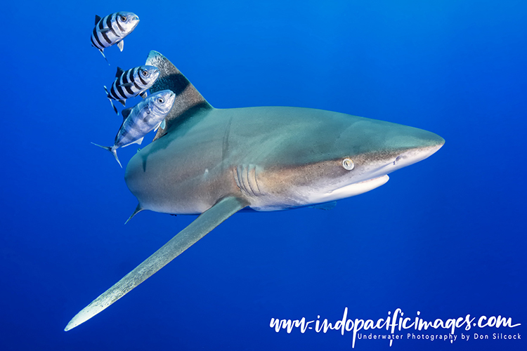 Oceanic Whitetip Sharks of Cat Island
