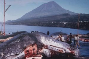 Open Boat Whaling in the Azores