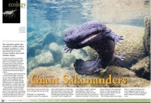 The Giant Japanese Salamander