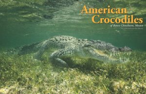 Chinchorro Crocodiles