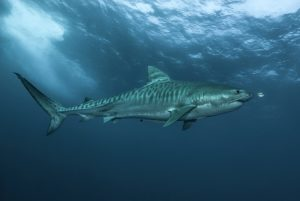 Tiger Sharks of the Protea Banks