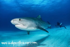 Tiger Sharks of the Bahamas