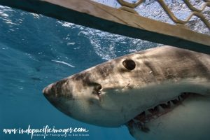Australian Great White Shark