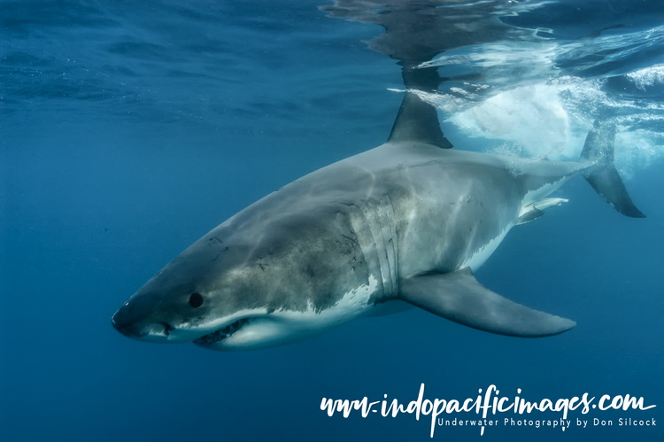 Photographing Great White Sharks
