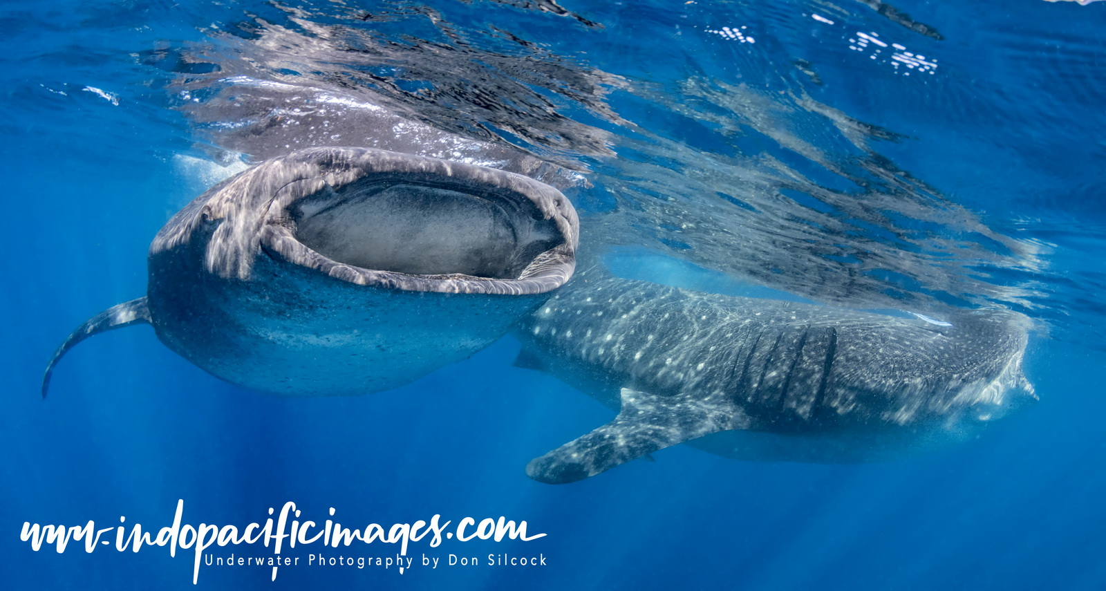 A Pair of Whale Sharks at the Afuera