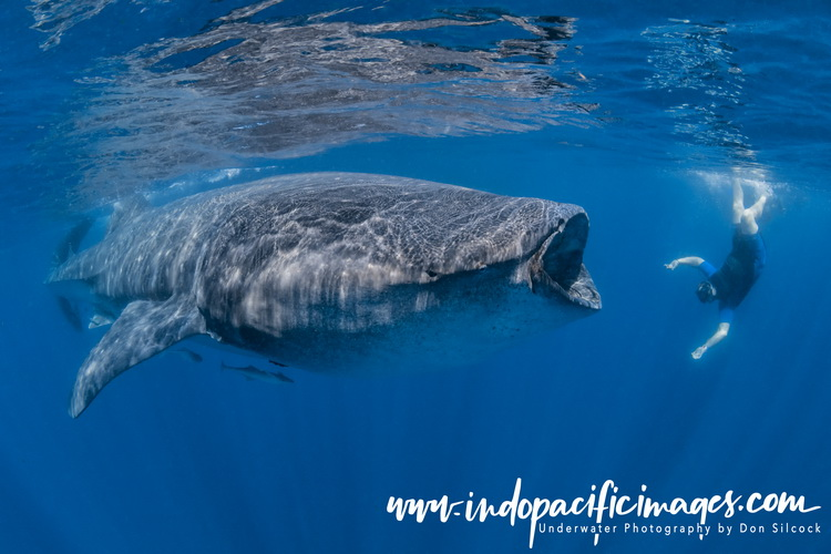 The Whale Sharks of Isla Mujeres