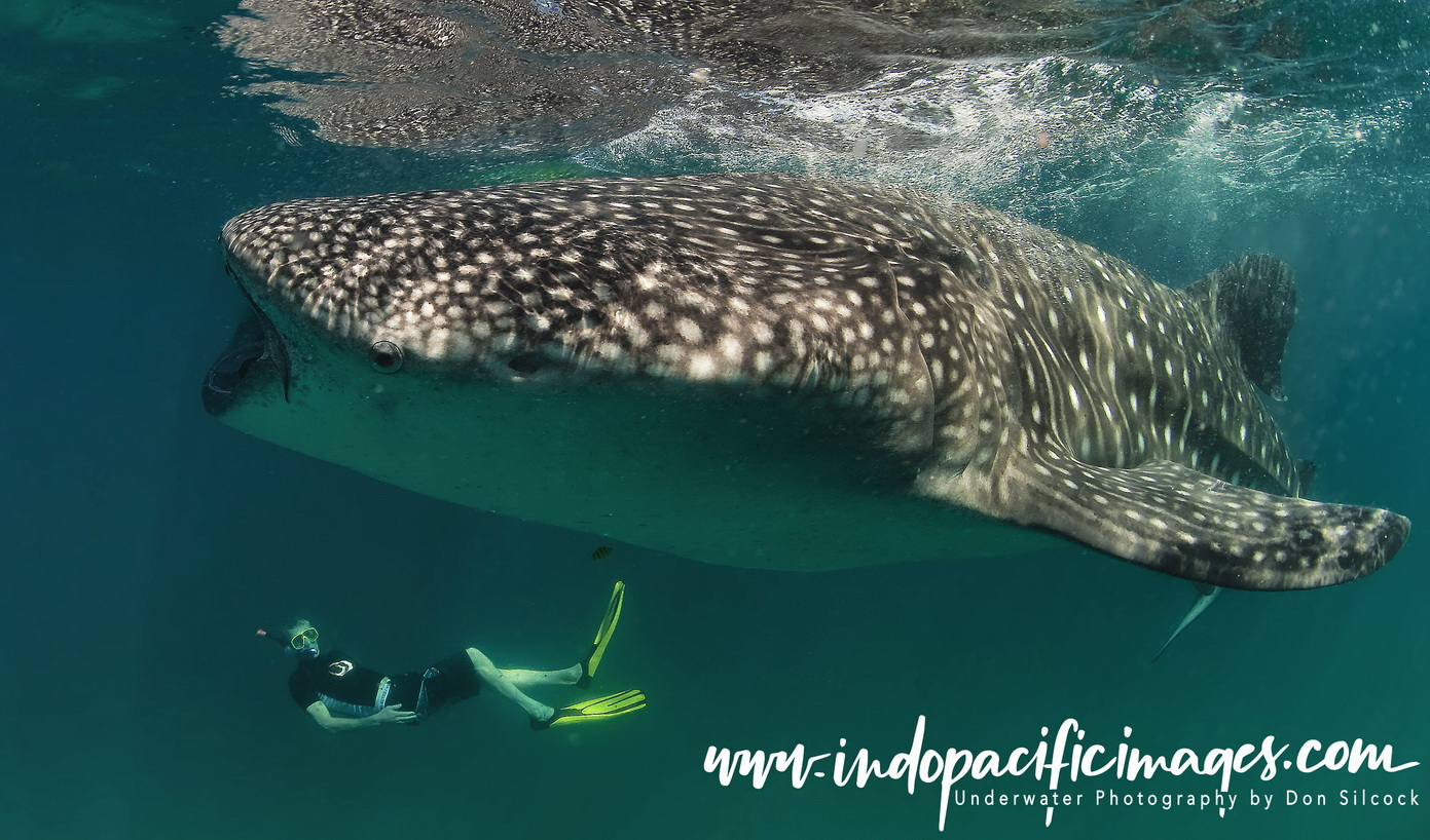 Whale Shark at Tofo