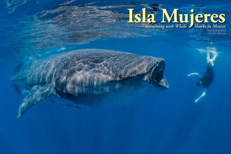 Whale Sharks of Isla Mujeres