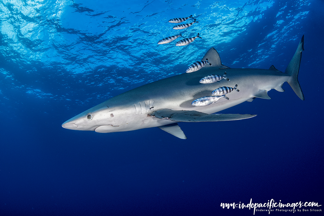 Blue Sharks of the Azores