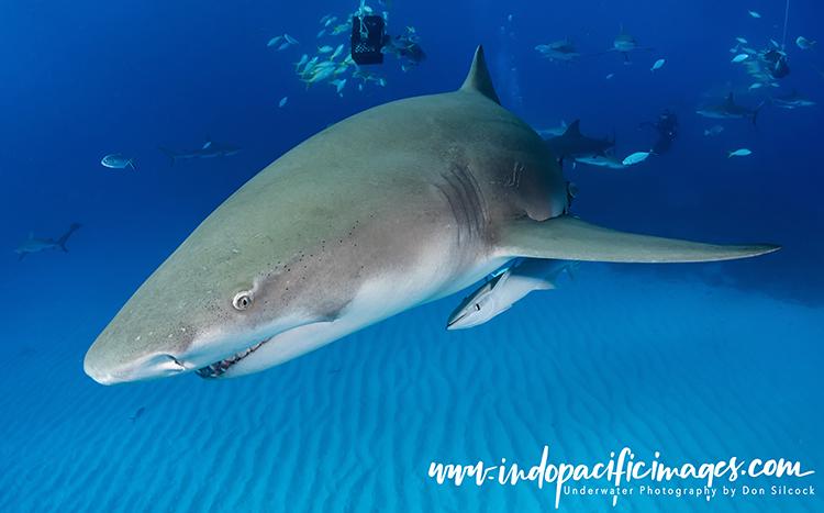 Tiger Beach Sharks