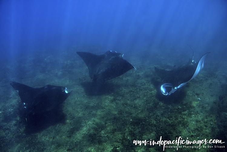 Tofo manta rays
