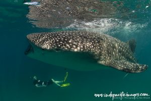Tofo whale sharks