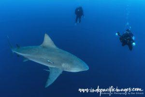 Zambezi Sharks