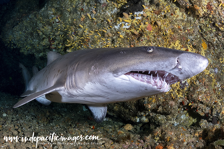 Ragged Tooth Sharks