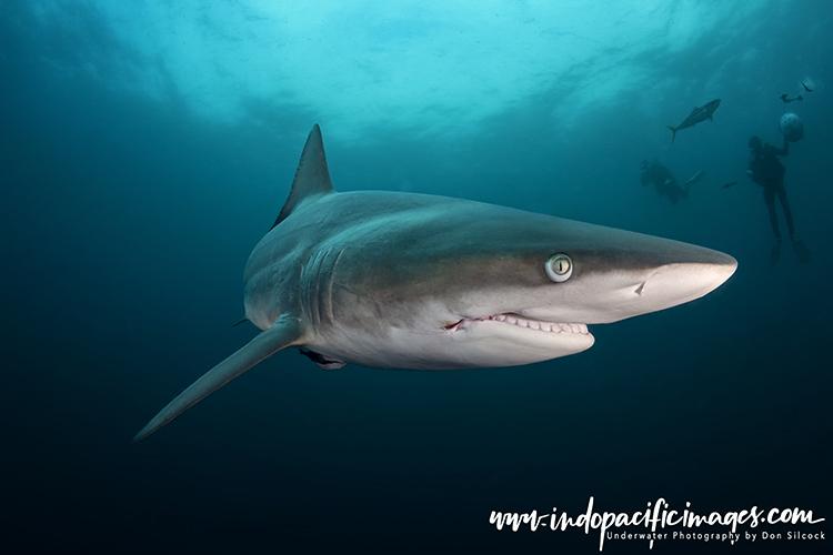 Oceanic Blacktip Sharks