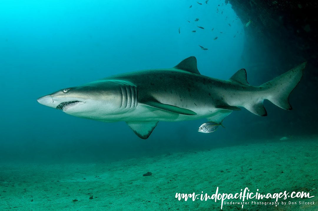 Diving with Grey Nurse Sharks