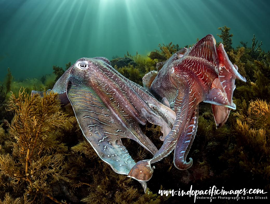 Photographing Giant Australian Cuttlefish