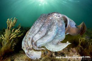 The Giant Australian Cuttlefish - Quite Unique
