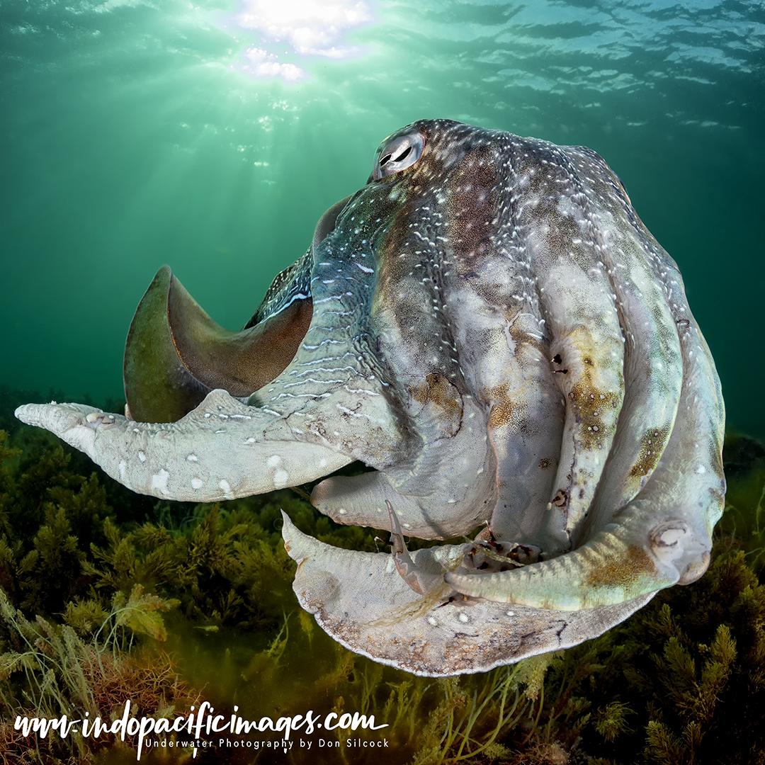 Giant Australian Cuttlefish